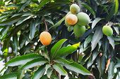 Orange Ripe And Bunch Of Green  Mango On Tree In Garden