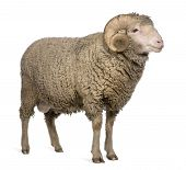 Arles Merino Sheep, Ram, 3 Years Old, Standing In Front Of White Background