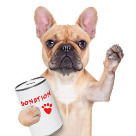 stock photo of bulldog  - french bulldog with a donation can collecting money for charity isolated on white background - JPG