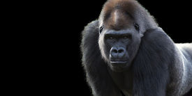 picture of gorilla  - portrait of a silver back gorilla isolated on a black background with room for text - JPG