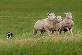 image of sheep-dog  - Trio of Sheep Led over Hill by Stock Dog - JPG