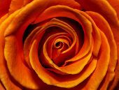 stock photo of fieri  - fiery orange rose bud completely fills the background - JPG