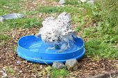 pic of snowy owl  - In this image we have a snowy owl taking a bath in a blue lid - JPG