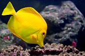 Yellowtang