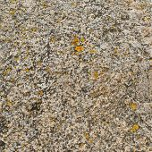 pic of lichenes  - Stone surface covered with yellow lichen as a background texture - JPG