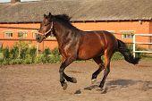 foto of brown horse  - Brown horse running playfully in the paddock - JPG