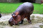 pic of hippopotamus  - Photo of a Hippopotamus in the zoo - JPG