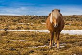stock photo of iceland farm  - Beauty local Icelandic horse in southern Iceland - JPG