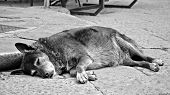 picture of stray dog  - black and white picture of a stray dog sleeping on the street in Palermo in Sicily Italy - JPG