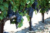 stock photo of grape  - Grapevines in a vineyard with bunches of wine grapes ready to harvest - JPG