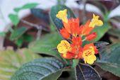 picture of lantana  - Lantana flower - JPG