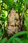 picture of hornet  - hornet nest with some black and yellow hornets in a forest tree - JPG