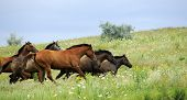 stock photo of wild horses  - herd of wild horses running on the field - JPG