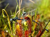 picture of carnivorous plants  - two damselflies eaten by a carnivorous sundew plant - JPG