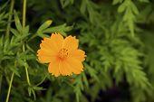 foto of cosmos flowers  - Bright orange cosmos flower in the field  - JPG