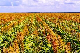 picture of sorghum  - Sorghum common name for maize - JPG