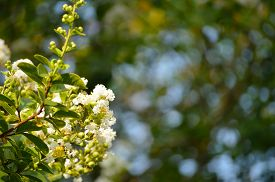 pic of crepes  - Crepe myrtle blooms in morning light - JPG