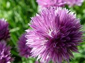 Chives Iii