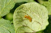 Escarabajo de la patata huevo Cluster