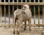 Sheep In A Pen