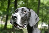 Great Dane Head Shot