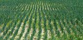 Fields Of Onion