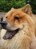 Chow Chow Breed Dog