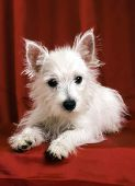 .West Highland Terrier