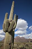 stock photo of superstition mountains  - A very large saguaro cactus stands tall against the backdrop of the Superstition Mountains - JPG