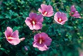 image of rose sharon  - Rose of Sharon - JPG