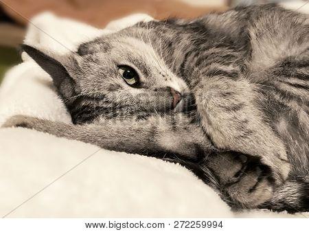 poster of Sleeping Cat On A Sofa, Sleeping Kitten, Sleepy Cat Close Up, Animals, Domestic Cat, Relaxing Cat, M
