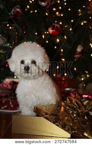 poster of Christmas Dog. A purebred Bichon Frise puppy smiles as she poses for her Christmas Photo under a Chr