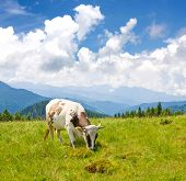 Cow on mountains pasture an nice summer day