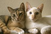 Two Cute Domestic Short Hair Cats Snuggle With One Another. Two Kittens Leaning On Each Other Togeth poster