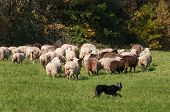Stock Dog Runs Around Large Herd Of Sheep (ovis Aries) - At Sheep Dog Herding Trials poster