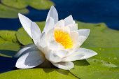 Nice white lily on river's water surface