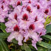 Rhododendron Hybrid Kabarett, Rhododendron Hybrid, Close Up Of The Flower Head poster