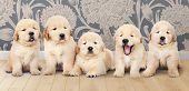 Portrait of five adorable golden retriever puppies poster