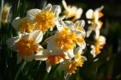 A Large Number Of Narcissuses Look Brightly And Contrastly In Beams Of The Morning Sun. poster