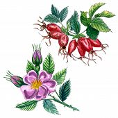 Dog Rose (eglantine Rose) Rose Hip Branch With Berries And Leaves Isolated On White Background. Wate poster