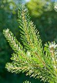spruce branch in the sun