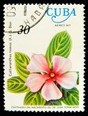 CUBA - CIRCA 1977: A Stamp shows image of a Vinca Rosea with the inscription