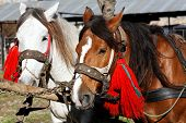 Portrait of two adorned horses
