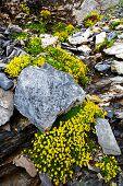 Mountain flowers in Berner Oberland, Switzerland
