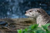 North American River Otter Profile Portrait. Wet Northern River Otter (lontra Canadensis) With Thick poster