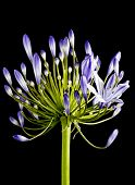Purple agapanthus bloom