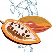 Cacao fruits, Cocoa - raw fruit to making chocolate