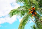 Fluffy Green Palm Tree Crown On Blue Sky Background. Tropical Paradise Photo. Coco Palm Tree Top Vie poster