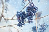 Ice Wine. Wine Red Grapes For Ice Wine In Winter Condition And Snow. Frozen Grapes Covered By White  poster
