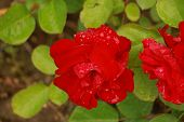 Close Up Of Beautiful Red Rose On Green Branch With Water Drops. Red Rose With Bud On Garden. Artist poster